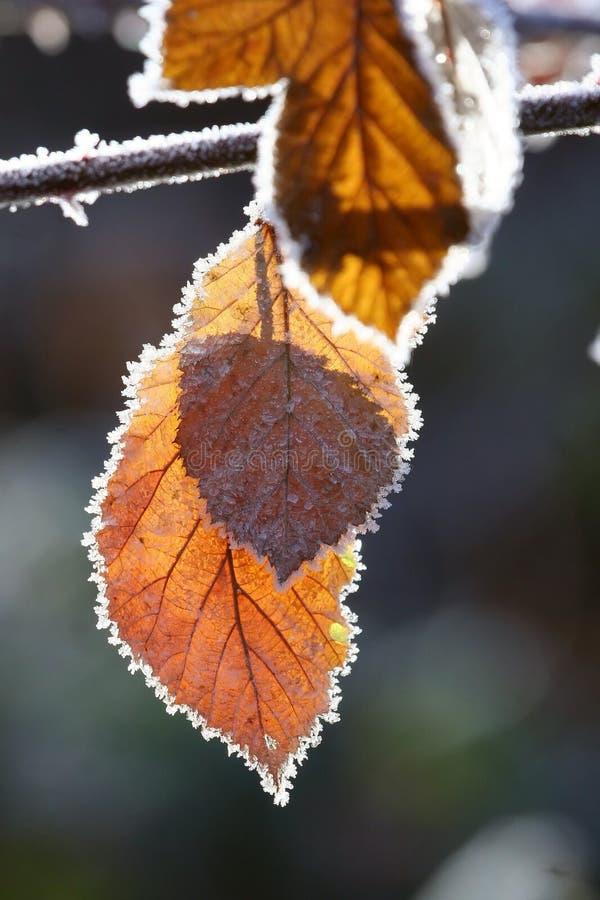 Folhas e geada de outono foto de stock