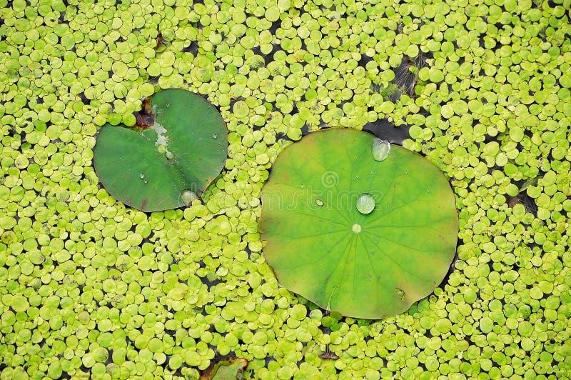 Folhas e pato-ervas daninhas dos lótus imagem de stock
