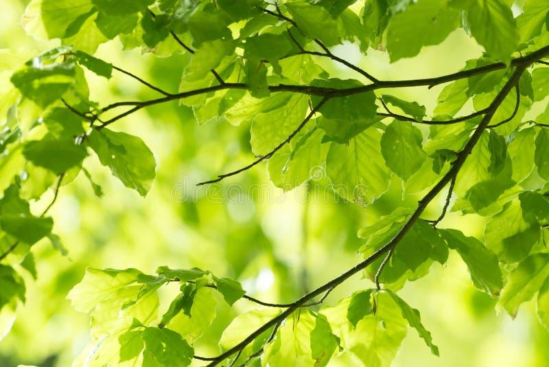 Folhas e raios frescos do sol imagem de stock