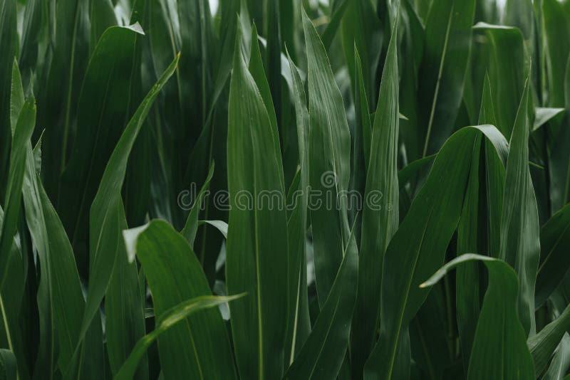 Folhas em um papel de parede do fundo do campo de milho foto de stock