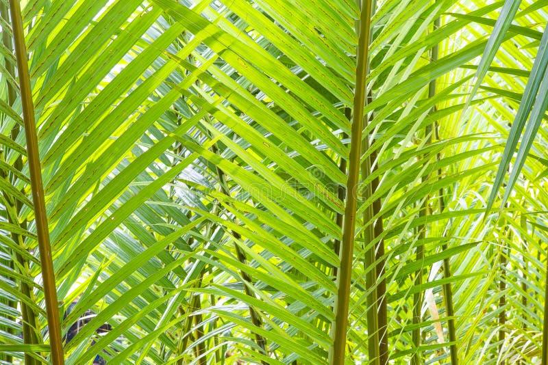 Folhas ensolarados da palmeira fotografia de stock royalty free