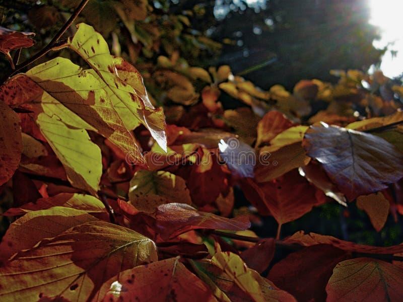 Folhas ensolarados de uma árvore foto de stock royalty free