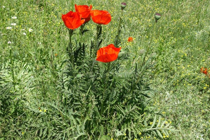 Folhas finamente dissecadas peludos e flores da papoila oriental imagens de stock royalty free