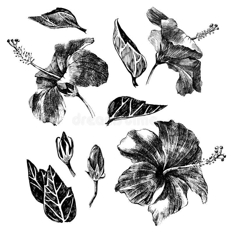 Folhas, flores e botões tirados mão do hibiscus ilustração do vetor