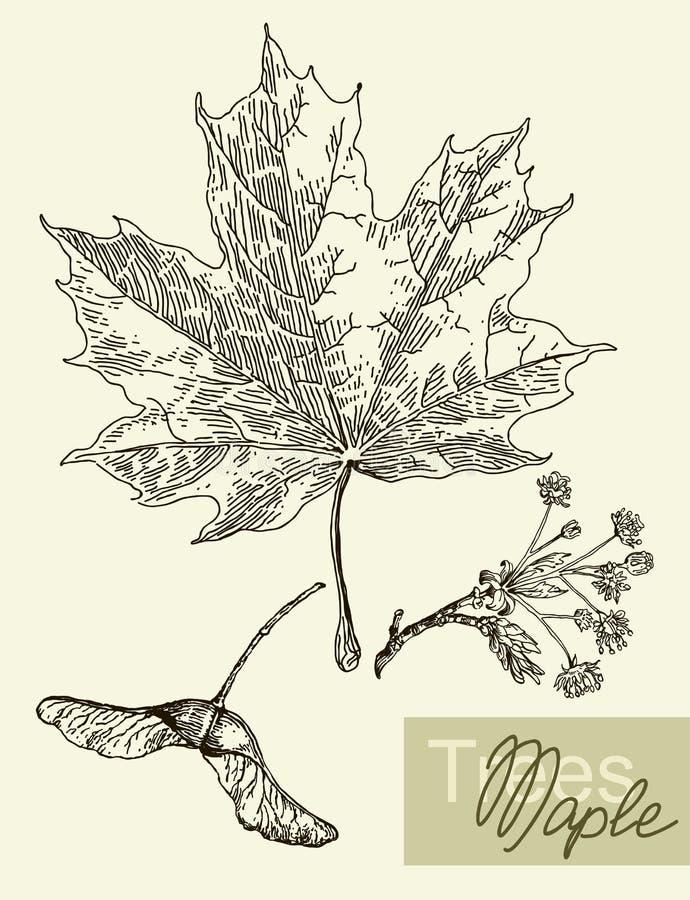 Folhas, flores e frutos do vetor do bordo ilustração do vetor