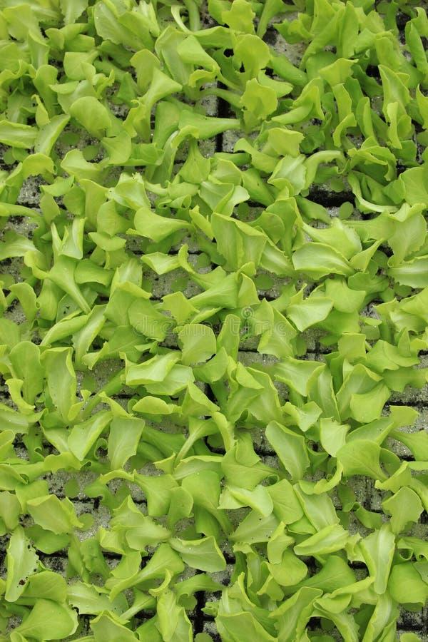 Folhas frescas da alface imagens de stock