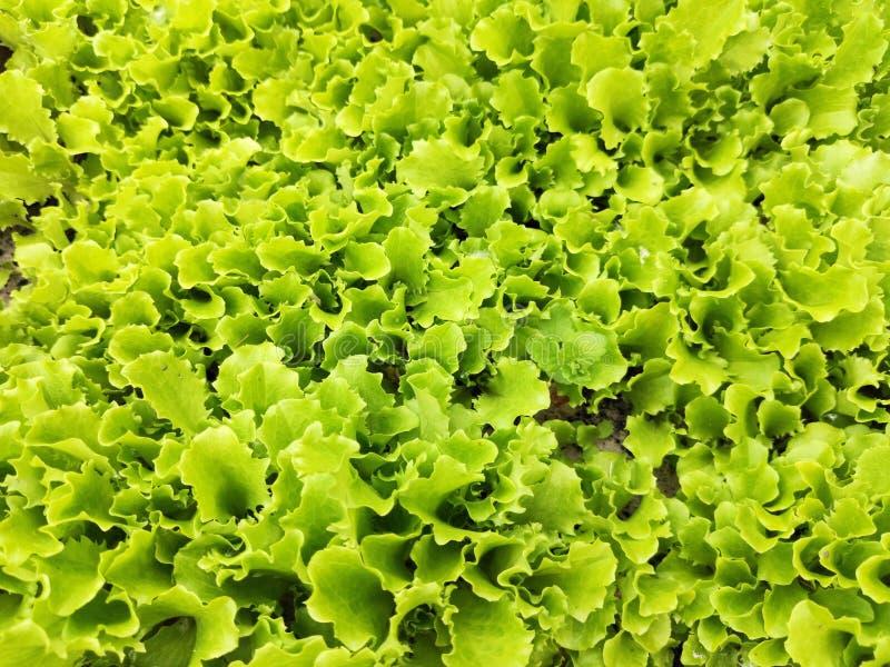 Folhas frescas da alface, fim acima, fundo verde imagem de stock