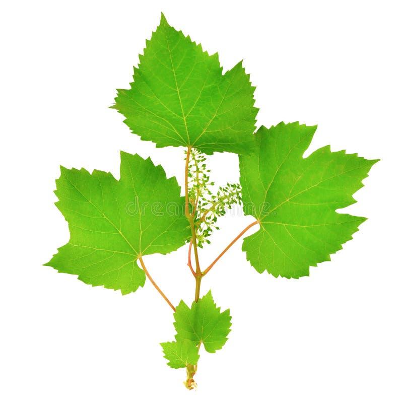 Folhas frescas da uva foto de stock royalty free