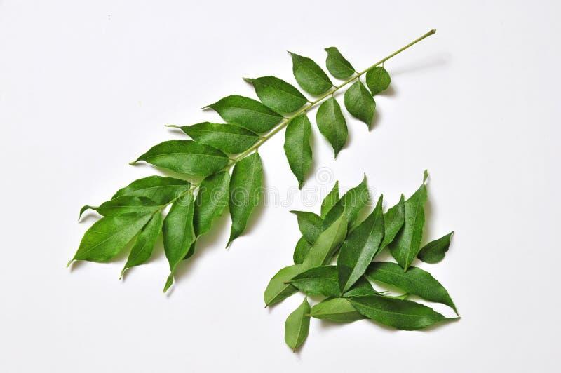 Folhas frescas do caril fotografia de stock