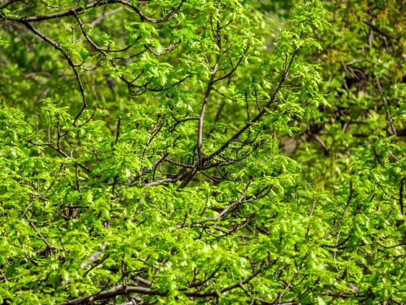 Folhas frescas do carvalho imagem de stock