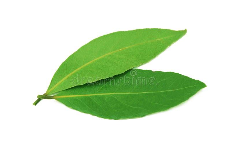 Folhas frescas do louro. imagem de stock