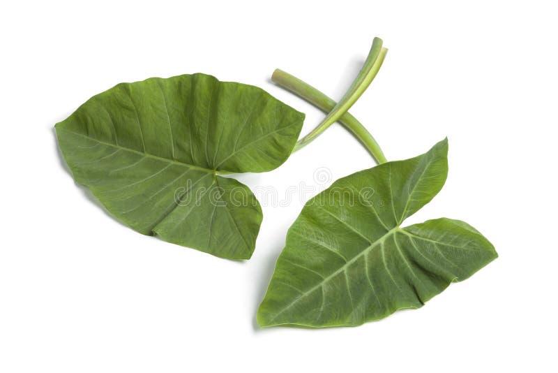 Folhas frescas do Taro fotografia de stock