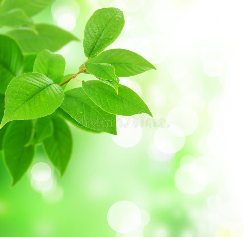 Folhas frescas do verde fotos de stock