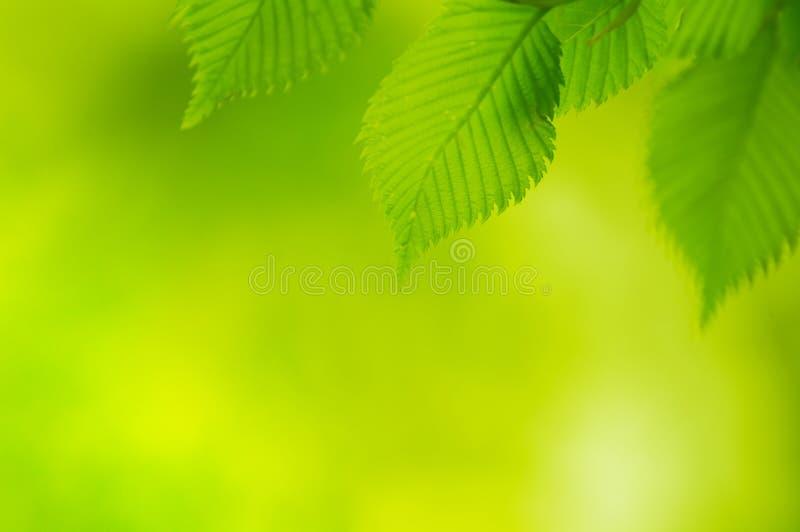 Folhas frescas do verde da mola sobre o fundo brilhante imagens de stock royalty free