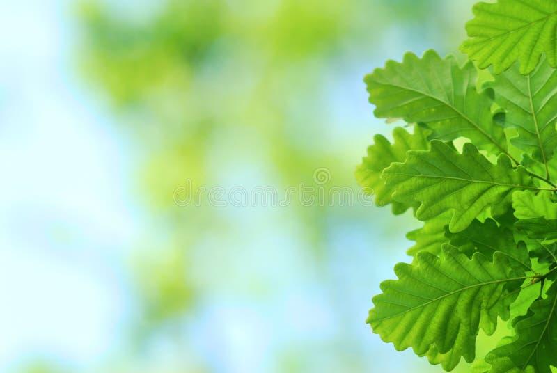 Folhas frescas e novas do carvalho imagens de stock royalty free