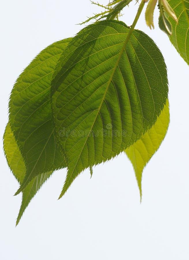 Folhas frescas fotos de stock