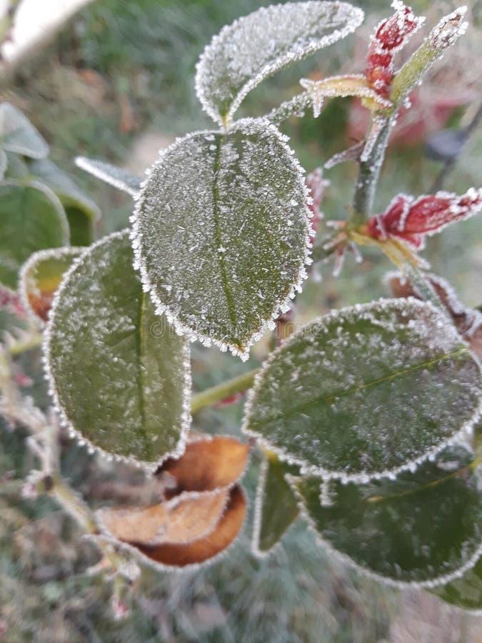 Folhas gelados imagem de stock royalty free