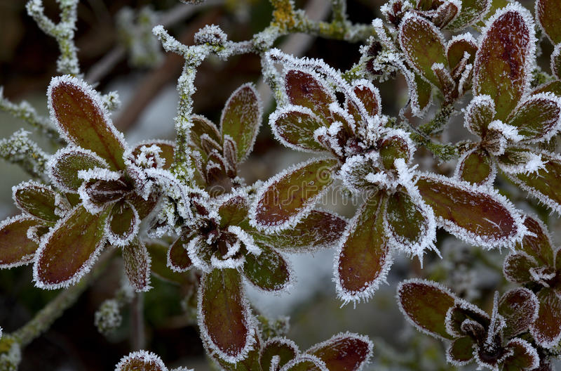 Folhas gelados foto de stock royalty free