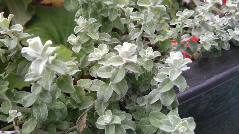 Folhas gelados macias do verde fotografia de stock