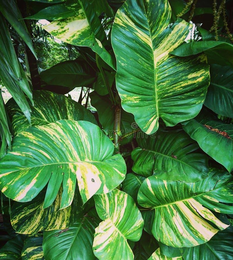Folhas grandes do verde fotos de stock royalty free