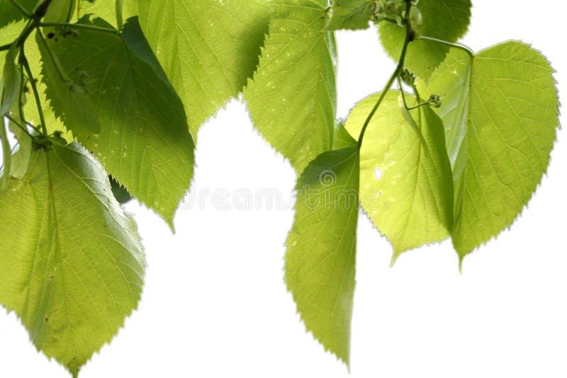 Folhas isoladas do verde fotos de stock royalty free