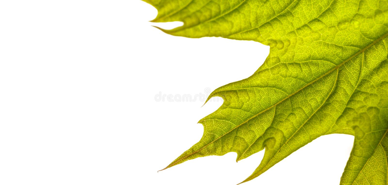 Folhas isoladas em fundo branco Macro foto de stock