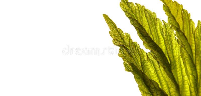 Folhas isoladas em fundo branco Macro fotos de stock