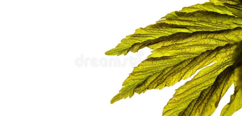 Folhas isoladas em fundo branco Macro imagens de stock