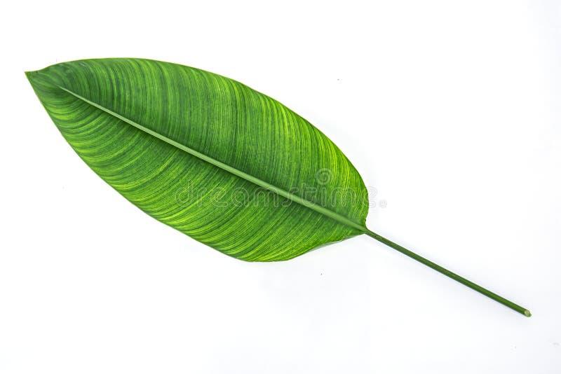 Folhas isoladas no fundo branco fotografia de stock