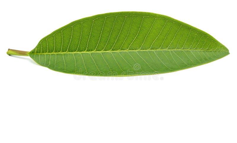 Folhas isoladas no fundo branco com trajeto de grampeamento imagens de stock royalty free