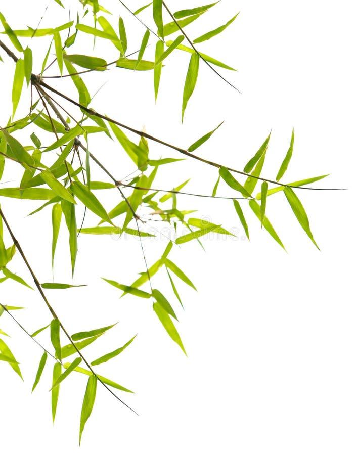 Folhas japonesas do bambu imagens de stock