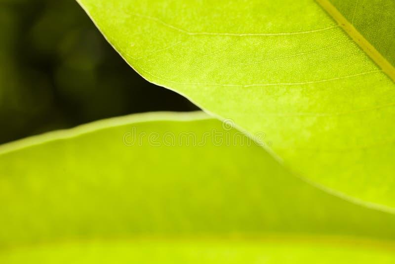 Folhas largas verde-clara luxúrias da foto macro com DoF raso foto de stock