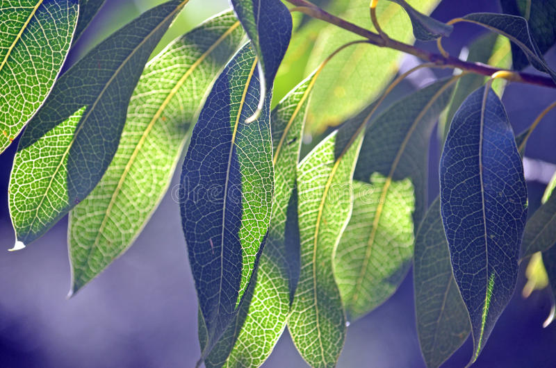 Folhas leves parte traseira de Woody Pear australiano fotografia de stock royalty free