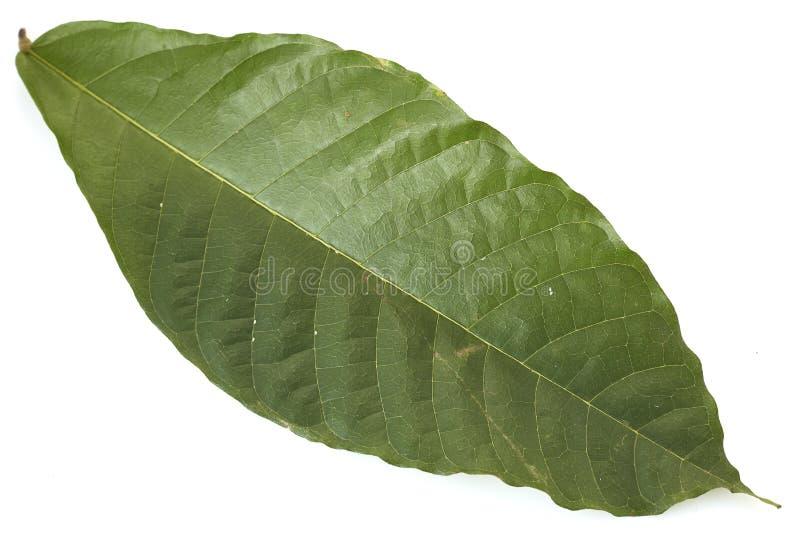Folhas longas da árvore de cacau no branco fotos de stock royalty free