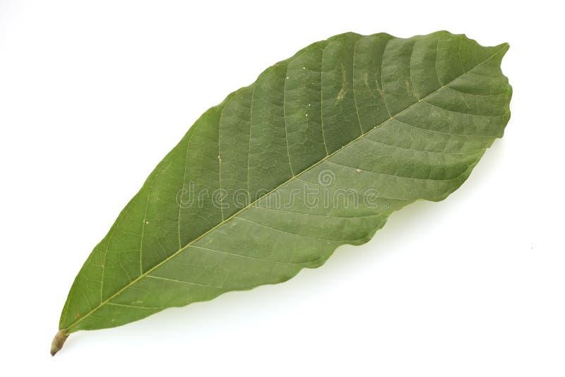Folhas longas da árvore de cacau no branco foto de stock