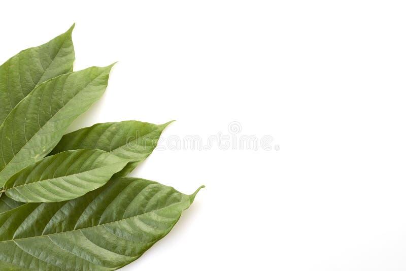 Folhas longas da árvore de cacau no branco imagem de stock royalty free