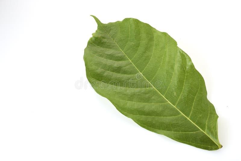 Folhas longas da árvore de cacau no branco imagens de stock royalty free