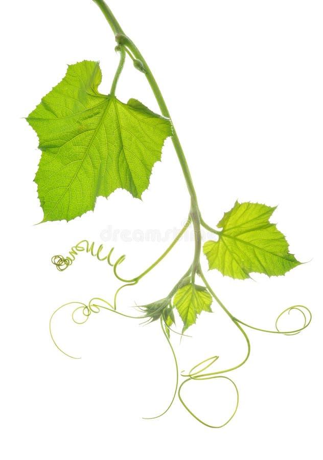 Folhas macias do verde imagem de stock royalty free