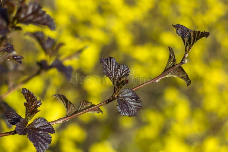Folhas marrons escuras pequenas em um fim do ramo acima em um fundo borrado de flores amarelas brilhantes fotos de stock royalty free