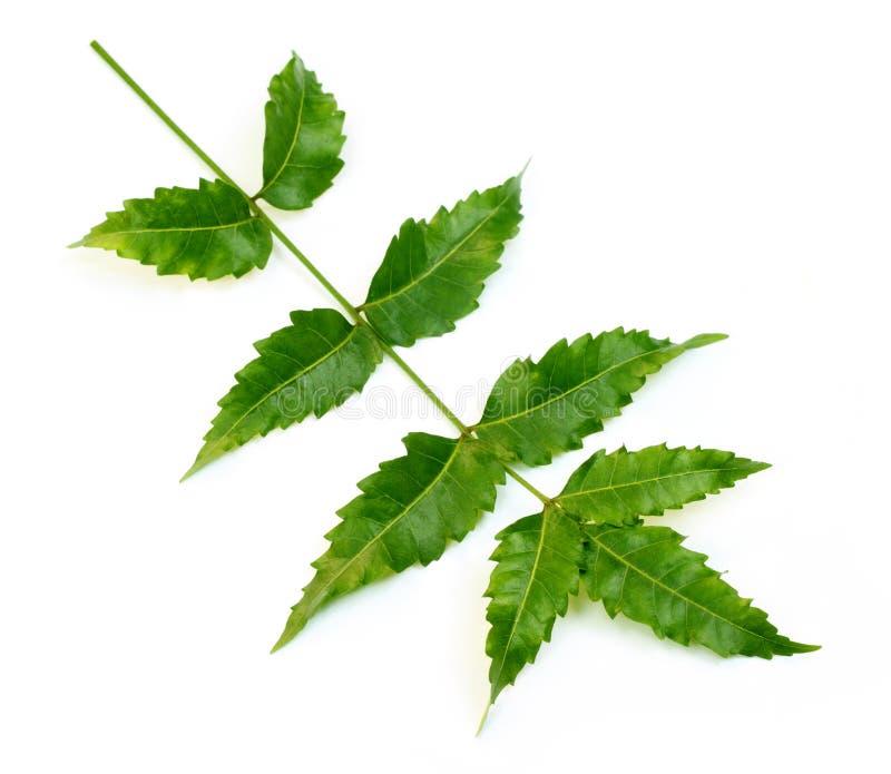Folhas medicinais do neem imagens de stock