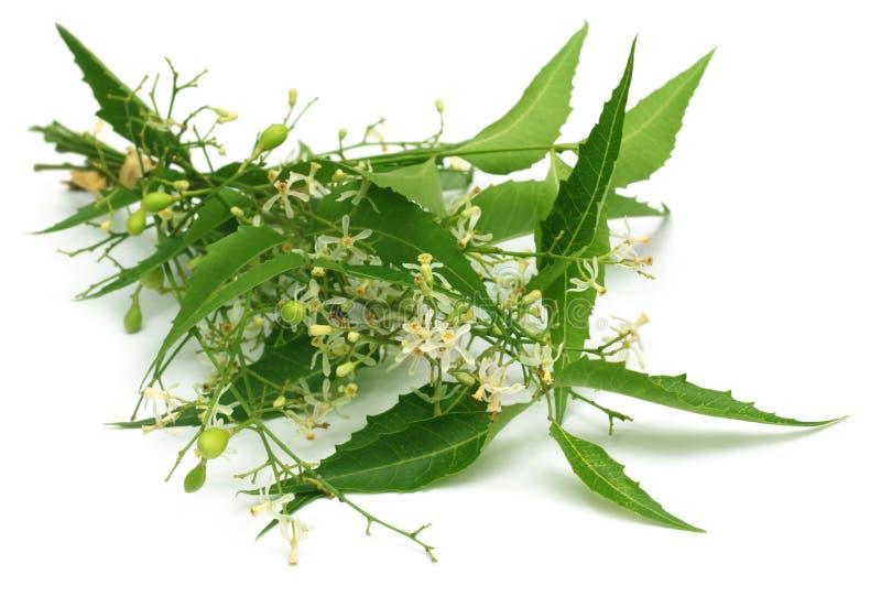 Folhas medicinais do neem com flor imagens de stock