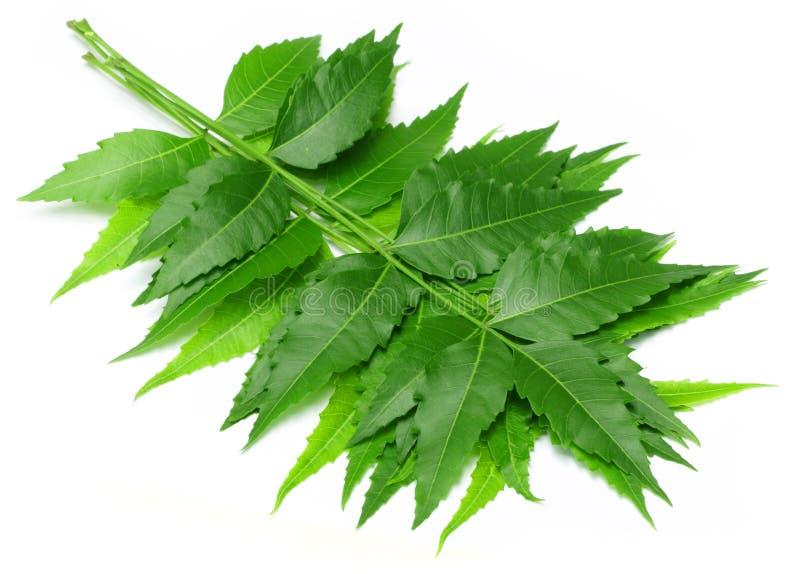 Folhas medicinais macias do neem fotos de stock royalty free