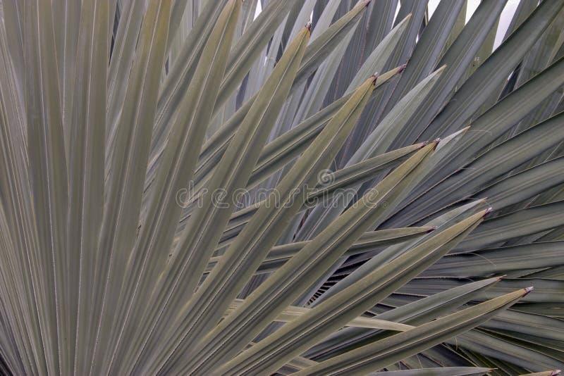 Folhas mexicanas da palmeira do fã fotos de stock royalty free