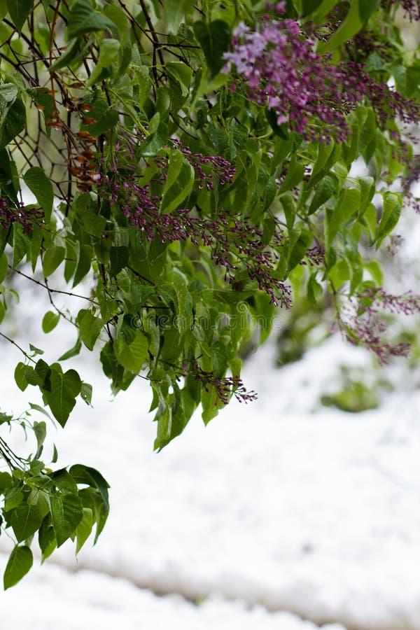 Folhas na neve imagem de stock royalty free