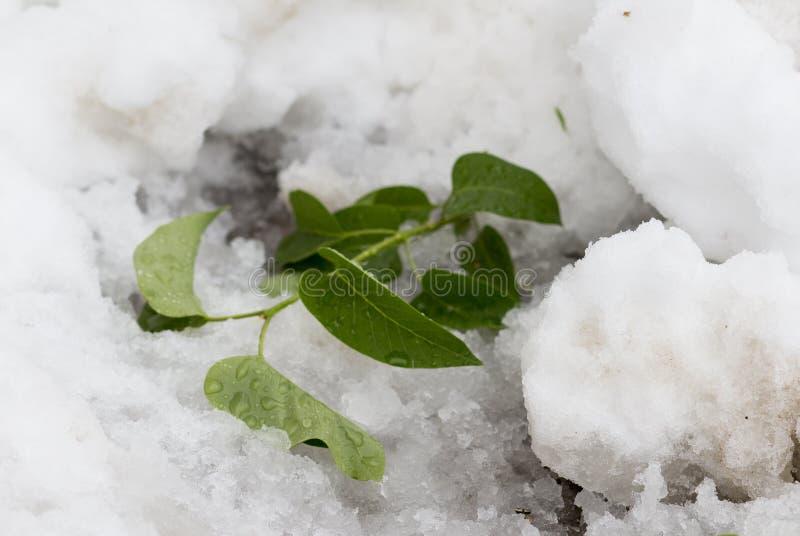 Folhas na neve fotografia de stock