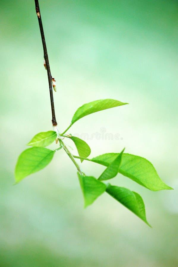 Folhas novas da árvore de ameixa pesada na mola foto de stock