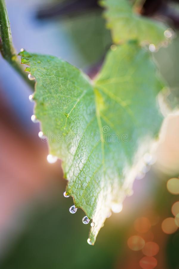 Folhas novas das uvas com gotas do orvalho NASCER DE O SOL borrar imagem de stock