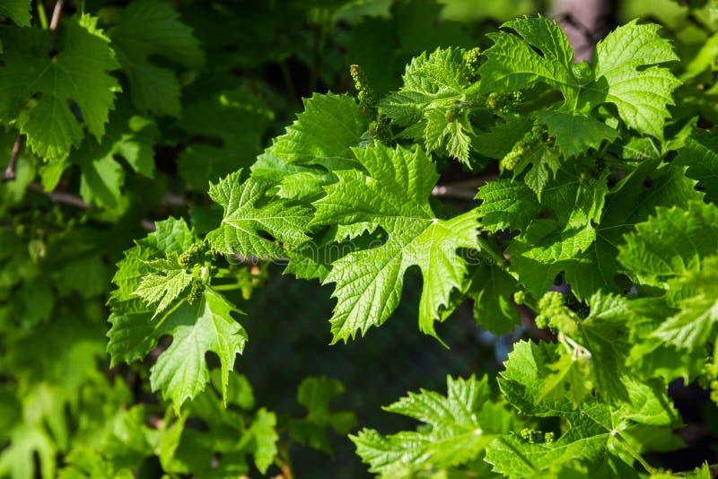 Folhas novas das uvas na luz solar fotos de stock royalty free