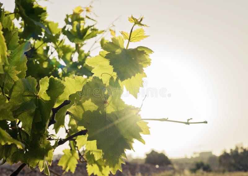 Folhas novas das uvas no fundo do céu fotografia de stock