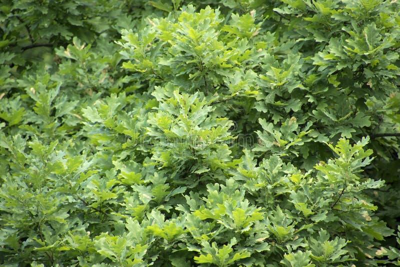 Folhas novas do carvalho imagens de stock